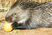 Israel, Indian Crested Porcupine (Hystrix indica), or Indian Porcupine