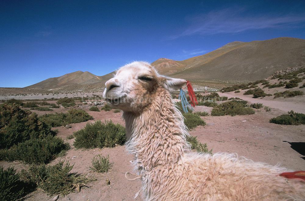 Lama, Lama glama Linnaeus 1758, ou Lama guanicoe glama, ex Auchenia, ang. llama  (du quechua)  C'est le plus grand camélidé du Nouveau Monde : poids 80-120 kg, hauteur au garrot 1,25 m. Il n'a pas de bosse. Ses oreilles plus longues et ses pieds plus fendus que le chameau. Il est un peu plus grand que le guanaco, il est pourvu de callosités aux genoux et à la poitrine. La toison est longue et épaisse. La robe varie beaucoup. Il a été domestiqué vers - 5500 à - 5000 dans les Andes. Les Lamas vivent dans les Andes en Amérique du Sud pourvues d'une végétation alpine herbacée : Bolivie, Pérou, Argentine, Chili, Equateur et Colombie. Ils résistent à la sous-nutrition saisonnière.  le lama est très doux. Il se défend en crachant de la salive mélée à des aliments. Il est utilisé au bât comme bête de somme (80-100 kg) et pour la boucherie, accessoirement pour le lait et le fumier. La fibre est également utilisée (chapeaux, tapisseries, liens, etc.)...Lama, Lama glama Linnaeus 1758, ou Lama guanicoe glama, ex Auchenia, ang. llama  (du quechua)  C'est le plus grand camélidé du Nouveau Monde : poids 80-120 kg, hauteur au garrot 1,25 m. Il n'a pas de bosse. Ses oreilles plus longues et ses pieds plus fendus que le chameau. Il est un peu plus grand que le guanaco, il est pourvu de callosités aux genoux et à la poitrine. La toison est longue et épaisse. La robe varie beaucoup. Il a été domestiqué vers - 5500 à - 5000 dans les Andes. Les Lamas vivent dans les Andes en Amérique du Sud pourvues d'une végétation alpine herbacée : Bolivie, Pérou, Argentine, Chili, Equateur et Colombie. Ils résistent à la sous-nutrition saisonnière.  le lama est très doux. Il se défend en crachant de la salive mélée à des aliments. Il est utilisé au bât comme bête de somme (80-100 kg) et pour la boucherie, accessoirement pour le lait et le fumier. La fibre est également utilisée (chapeaux, tapisseries, liens, etc.).