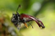 Hirschkäfer Männchen (Lucanus cervus) auf Eiche