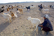 GOBI DESERT, MONGOLIA..08/30/2001.Tzochorinam, gers belonging to the family of wealthy camel herder and local hero Chimiddorj. Chimiddorj's wife Maamhu milking goats..(Photo by Heimo Aga).