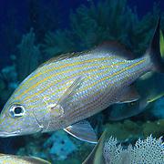 Caesar Grunt inhabit reefs in Tropical West Atlantic; picture taken Grand Cayman.
