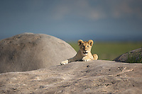 Lion cub (Panthera leo) on the kopje rocks at sunset, Serengeti