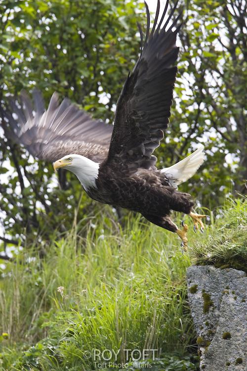 American bald eagle (Haliaeetus leucocephalus) launches in flight, Katmai National Park, Alaska.