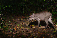A wild eurasian pig, sus scrofa, in Pang Sida  National Park, Thailand. Picture is taken with an automatic camera trap.