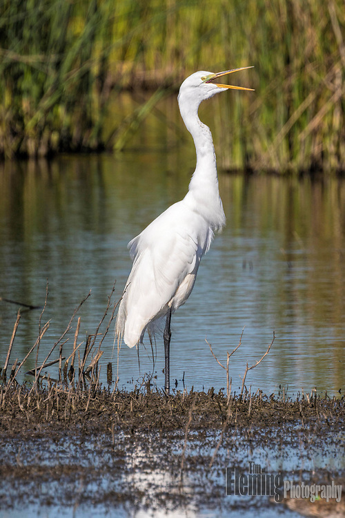 Great egret, Shollenberger Park, Petaluma, California