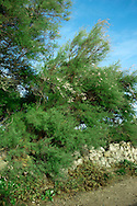French Tamarisk Tamarix gallica (Tamaricaceae) HEIGHT to 8m. Straggly, windswept tree. BARK Purplish-brown. BRANCHES Numerous and fine. LEAVES Greenish-blue, scale-like, to 2mm long, clasping young shoots. REPRODUCTIVE PARTS Minute pink, 5-petalled flowers, in tapering racemes, to 2.5cm long; each petal is less than 2mm long. Seeds are wind-dispersed. STATUS AND DISTRIBUTION Native to SW Europe; long-established in our region, planted as a windbreak, or for soil stabilization.