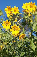 Engelmann's Daisy (Engelmannia peristenia) Bandera County, Texas