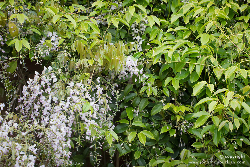 Wisteria floribunda 'Kuchi-beni' and Holboellia coriacea (Sausage vine) growing over a wall