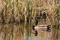 A Drake Mallard swims silently along the side of a marsh pond on a June morning.