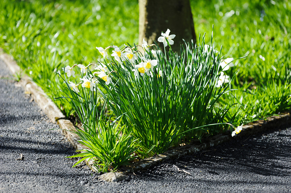 Daffodils growing at the corner of a path in a park, with a tree growing behind.