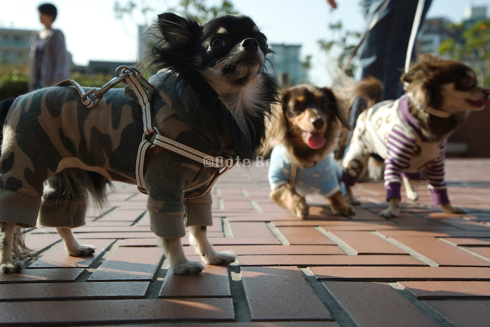 little dressed up dogs going for a walk