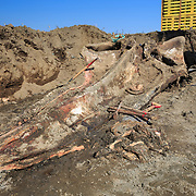 Upper half of the skull of an 18-meter long female fin whale (Balaenoptera physalus) that was found floating in Tokyo harbor in early 2012 and buried for about 16 months to facilitate decomposition. Even with the passage of so much time, there was still significant soft tissue and a power odor.