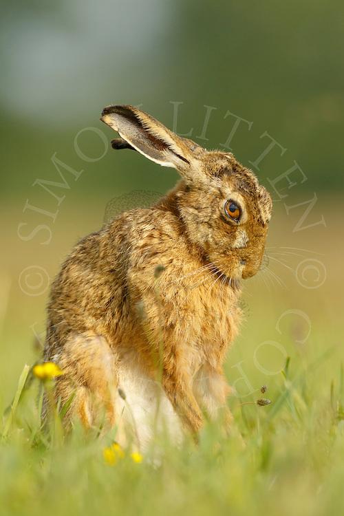 European Hare (Lepus europaeus) adult on farmland, cleaning itself, Norfolk, UK.