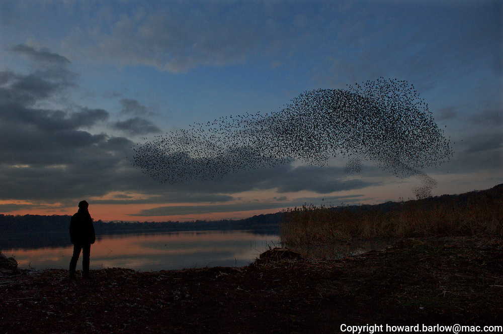 4pm November 26th 2010 - Thousands of starlings streaming in to roost over the mere near Knutsford in Chesire.