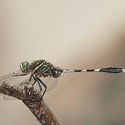 The Slender skimmer Dragonfly, Orthetrum sabina sabina.