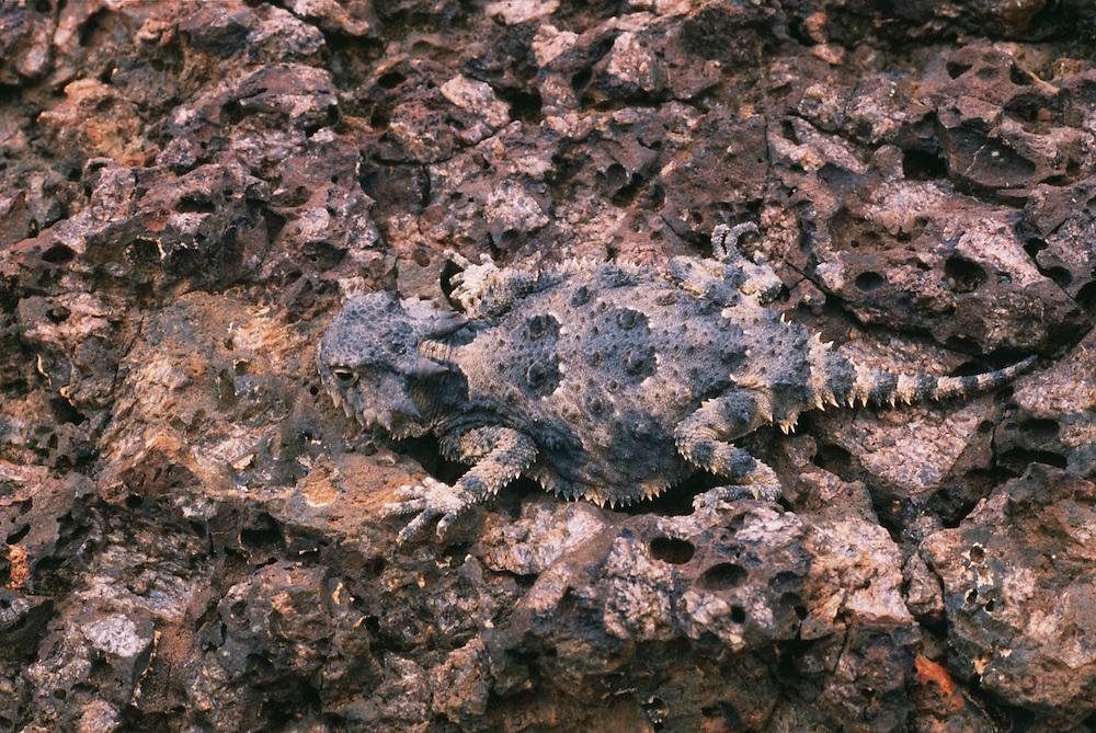 350101-1103 ~ Copyright: George H. H. Huey ~ Short horned lizard [Phrynosoma douglassi]. Sunset Crater National Monument, Arizona.