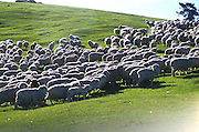Sheep  herd , Otago Peninsula ,south island, New Zealand. 1999