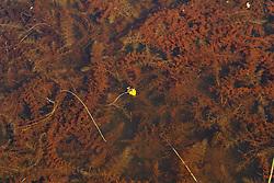 Loos blaasjeskruid, Utricularia australis