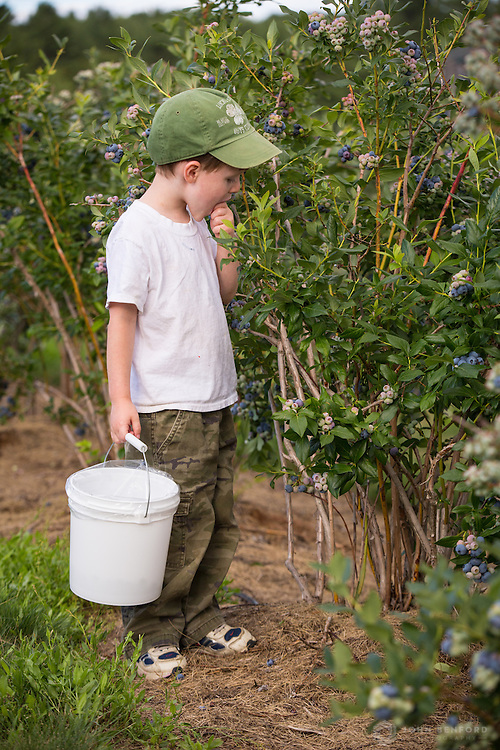 A four year-old boy eats a sample while picking blueberries at Apple Hill Farm in Concord, NH.