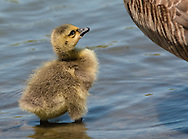 Middletown, New York - A Canada goose  gosling stands in the lake  at Fancher-Davidge Park on May 10, 2015.