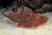 scorpionfish, Scorpaenopsis sp., Maha Thila, near Helengeli, Maldives ( Indian Ocean )