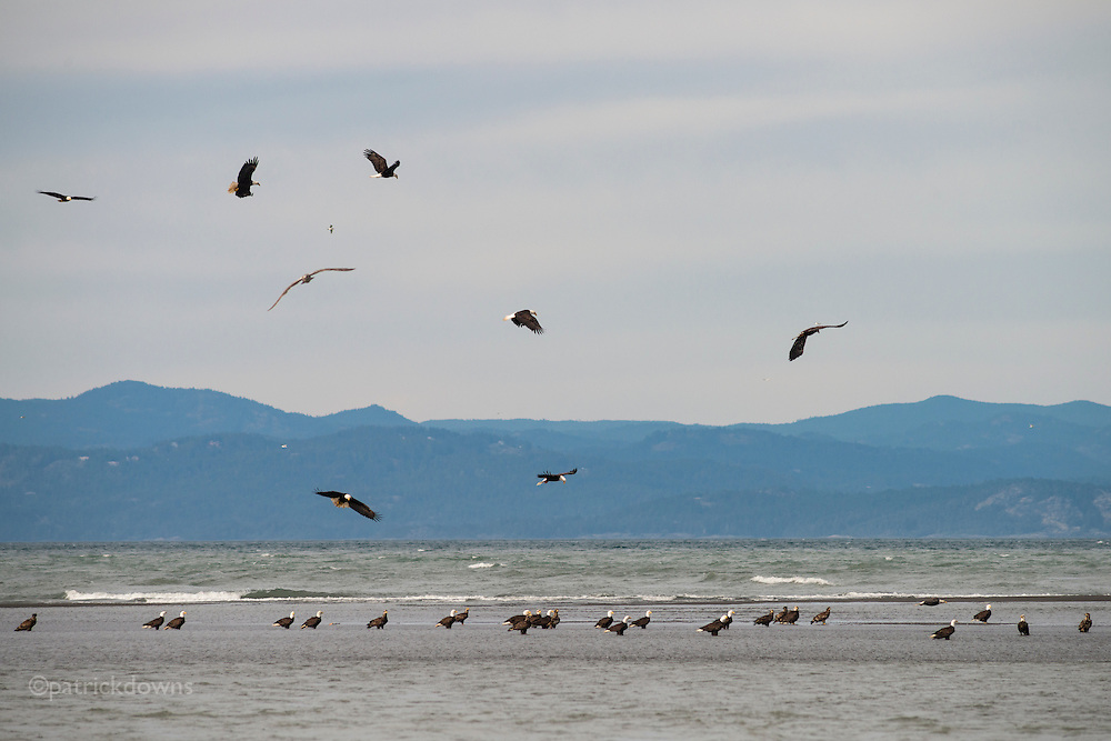 Some of the 49+ bald eagles I counted, sit in shallow water on a gravel bar at the mouth of the Elwha River west of Port Angeles, WA. They were fishing a run of small fish.