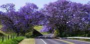 A spectacular bloom of roadside Jacarandas (Jacaranda mimosifolia) adds a splash of color to the green Kula countryside on the island of Maui.