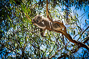 The koala, or, inaccurately, koala bear - is an arboreal herbivorous marsupial native to Australia. It is the only extant representative of the family Phascolarctidae and its closest living relatives are the wombats, which comprise the family Vombatidae. The koala is found in coastal areas of the mainland's eastern and southern regions, inhabiting Queensland, New South Wales, Victoria, and South Australia. It is easily recognisable by its stout, tailless body and large head with round, fluffy ears and large, spoon-shaped nose. The koala has a body length of 60–85 cm (24–33 in) and weighs 4–15 kg (9–33 lb). Pelage colour ranges from silver grey to chocolate brown. Koalas from the northern populations are typically smaller and lighter in colour than their counterparts further south. These populations possibly are separate subspecies, but this is disputed.<br />