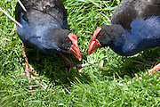 Pukeko, Travis Wetland, New Zealand