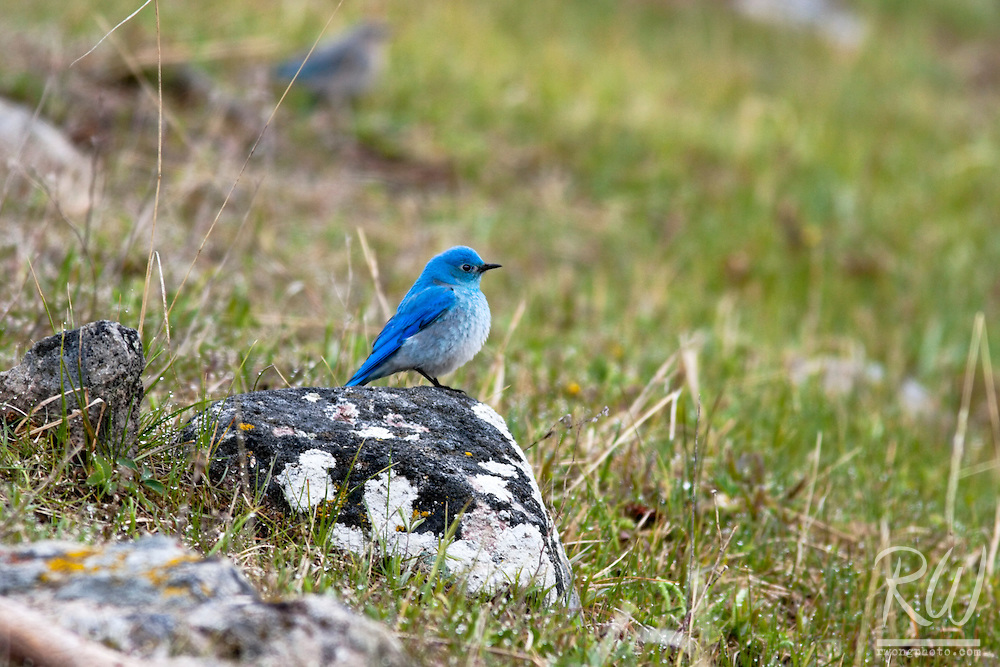 Mountain Blue Bird, Yellowstone National Park, Wyoming