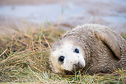 Donna Nook, Lincolnshire, UK – Nov 15: Close up on a cute muddy newborn baby grey seal pup on 15 Nov 2016 at Donna Nook Seal Santuary, Lincolnshire Wildlife Trust