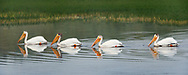 American white pelicans swim in a line  on the Yellowstone River, Yellowstone National Park, WY, © 2005 David A. Ponton