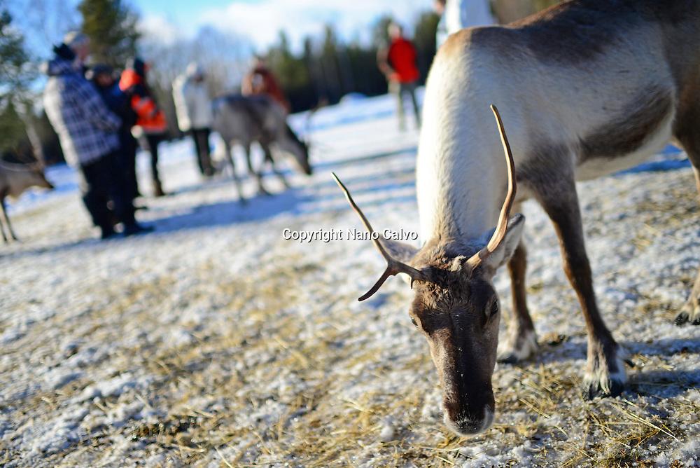 In the Reindeer farm of Tuula Airamo, a Sámi descendant, by Muttus Lake. Inari, Lapland, Finland