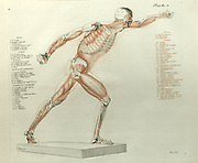 Anatomy study of the muscle structures of the human body printed 1812