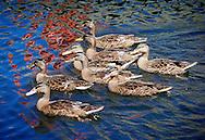 Ducks swimming in the grand canal dock in Dublin Pic:Marc O'Sullivan