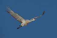 Sandhill crane in flight, showing primary feathers spread and flexing from air flow during the downward stroke of the wing.  Streamlined position of neck, legs, and feet is evident. Middle Rio Grande Valley, NM. © 2011 David A. Ponton