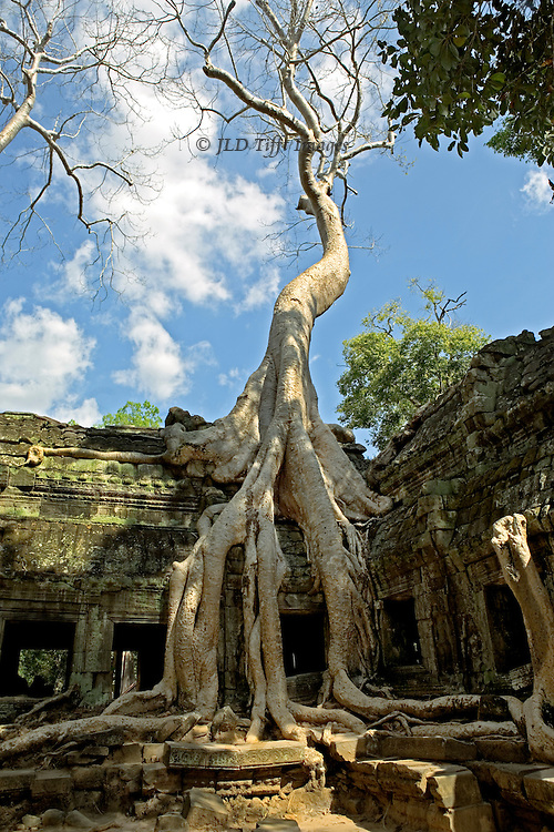 Angkor, Ta Prohm temple building clasped in vast tangles of thitpok (Tetrameles nudiflora) tree roots. Some call this tree a strangler fig (ficus gibbosa), a different species.  Vertical orientation showing tree all the way to its top.