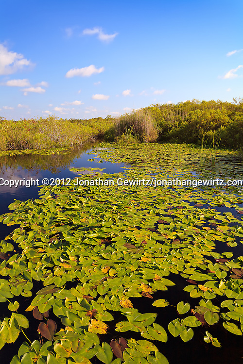 Lily-covered pond on the Anhinga Trail in Taylor Slough, Everglades National Park, Florida. WATERMARKS WILL NOT APPEAR ON PRINTS OR LICENSED IMAGES.
