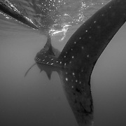 Tail of whale shark (Rhincodon typus) swimming beneath the outrigger of banca boat, Honda Bay, Palawan, the Philippines.