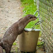 Otters - Point Defiance Zoo - Tacoma, AZ
