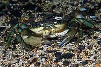 Common shore crab, Carcinus maenas, Lofoten, Norway