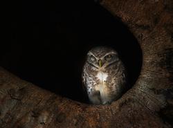 Spotted Owlet (Athene brama) resting i dark hole, Kanha, India