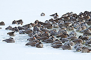 00748-05507 Canada Geese (Branta canadensis) flock on frozen lake,  Marion Co, IL