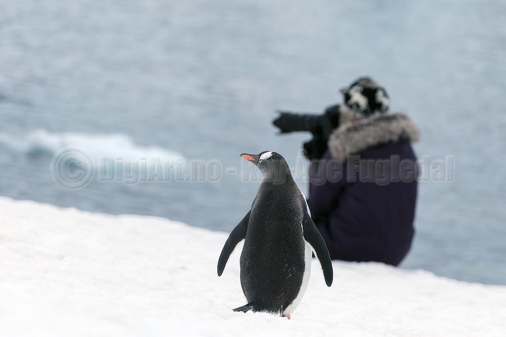 a Gentoo penguin at Antarctica is wondering about what this photographer is capturing that is nicer than himself | En bøylepingvin på Antarktis lurer på hva denne fotografen fotograferer som er penere enn han selv.