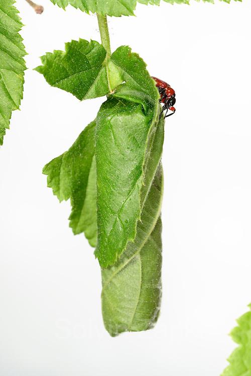 [captive] Hazel Leaf-roller Weevil (Apoderus coryli) Westensee, Germany (sequence 8/9) | Haselblattroller (Apoderus coryli) Familie der Dickkopfrüssler (Attelabidae)