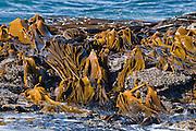 kelp, New Zealand