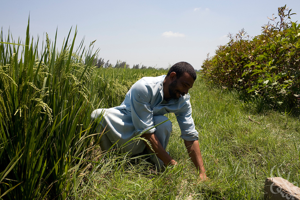 An Egyptian farmer trims grasses away from an irrigation channel on the edge of his rice field August 05, 2008 in the Egyptian Delta town of Sidi Salem. The farm is one which has been helped by a cooperative partnership between Egyptian government and the GTZ (Deutsche Gesellschaft für Technische Zusammenarbeit), a federally owned German company that promotes infrastructure development. GTZ works to help Egyptian farmers improve irrigation techniques to conserve scarce water sources in the face of growing demand..