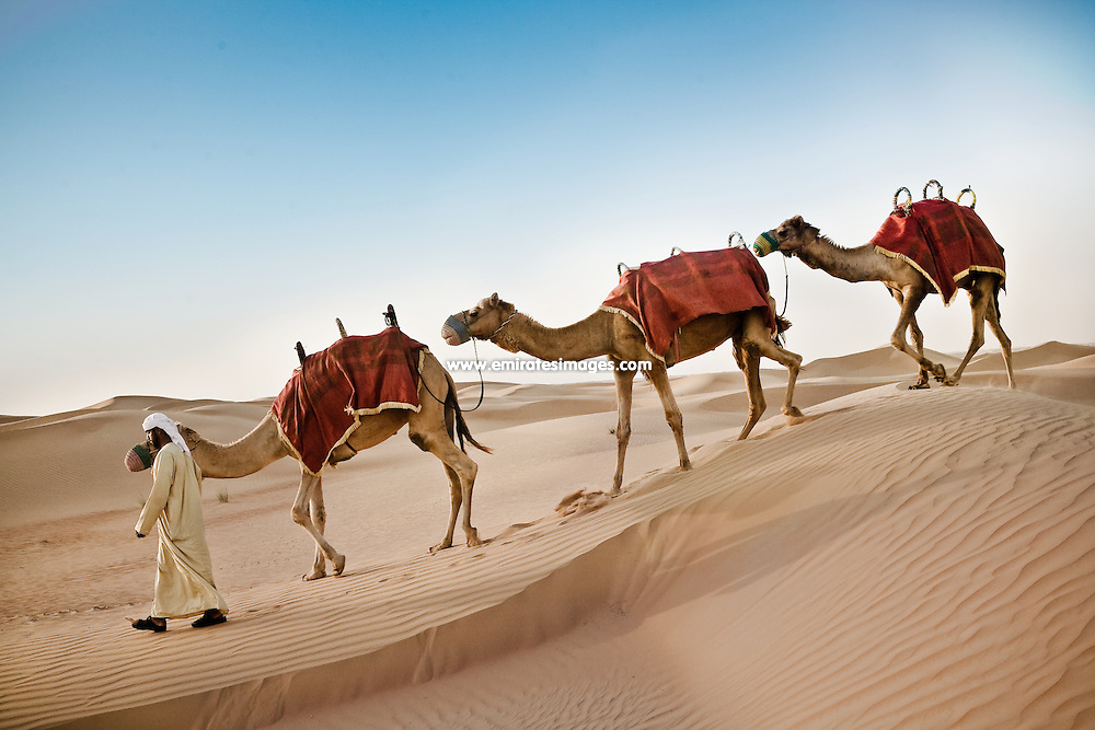 A man leads a line of camels through the desert in United Arab Emirates