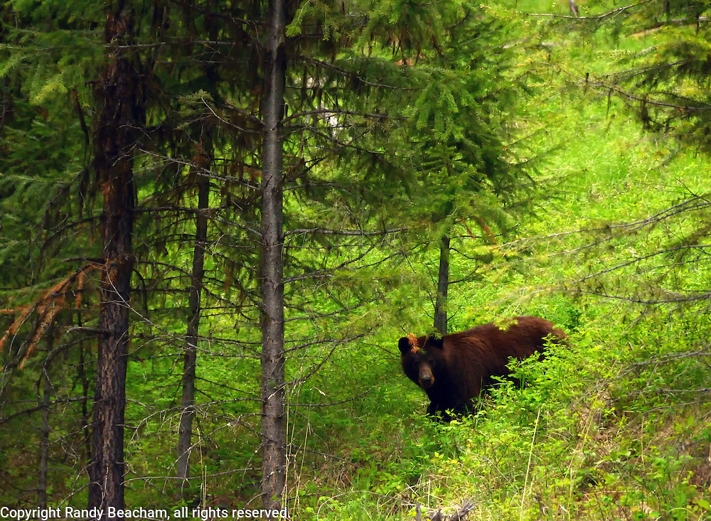 Bear Habitat. Yaak Valley, Montana.