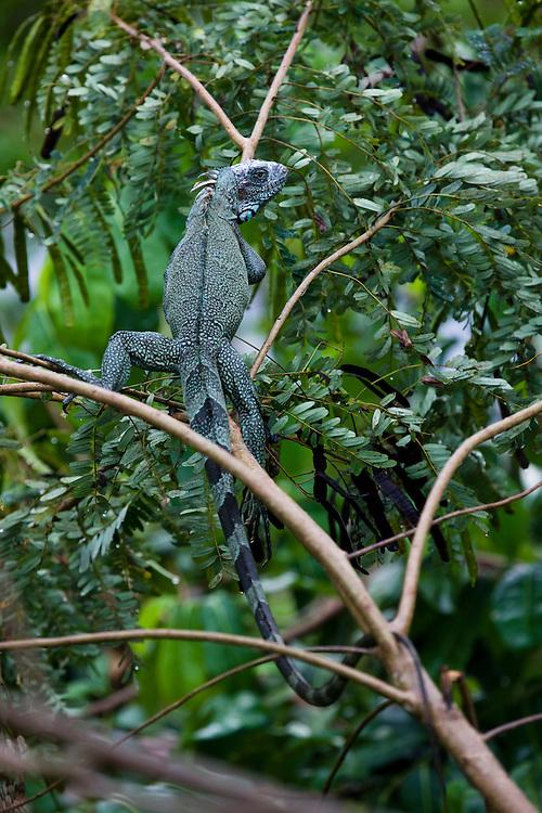 Green iguana (Iguana iguana) on a tree at the Anavilhanas Ecological Station in Novo Airao, Amazonas, Brazil, August 17, 2008..Daniel Beltra/Greenpeace